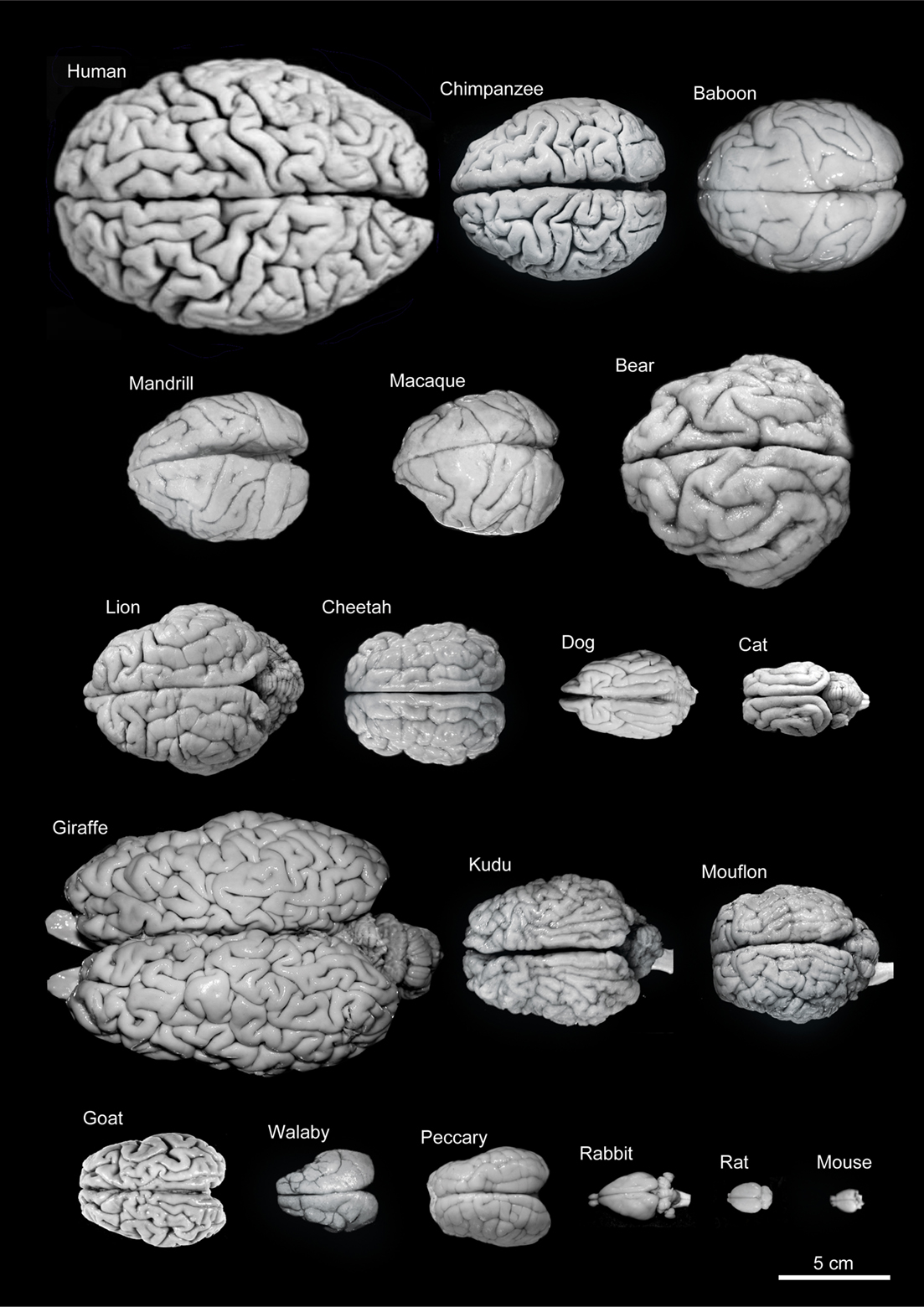 Very cool image showing different brains from different animals