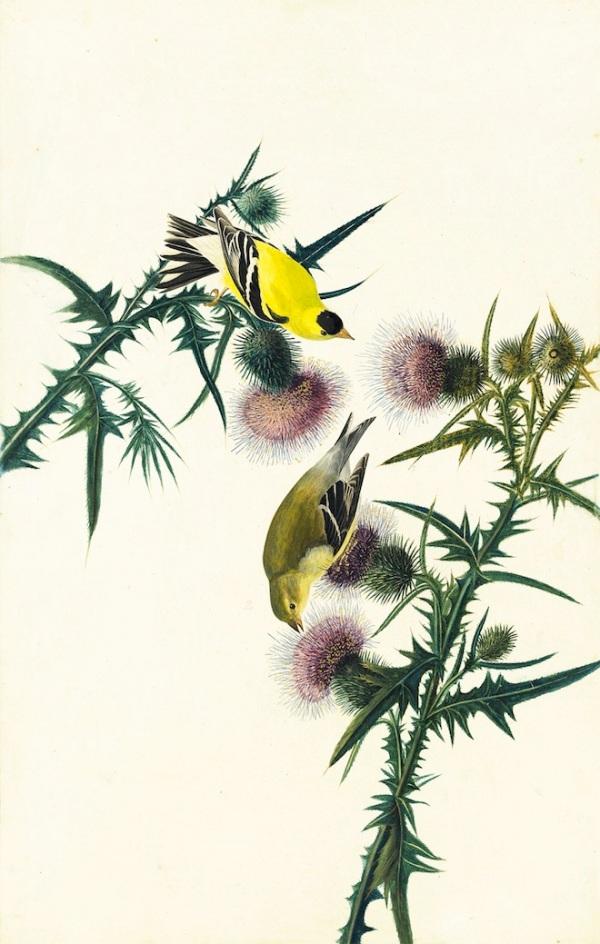 1863_17_033_americangoldfinch