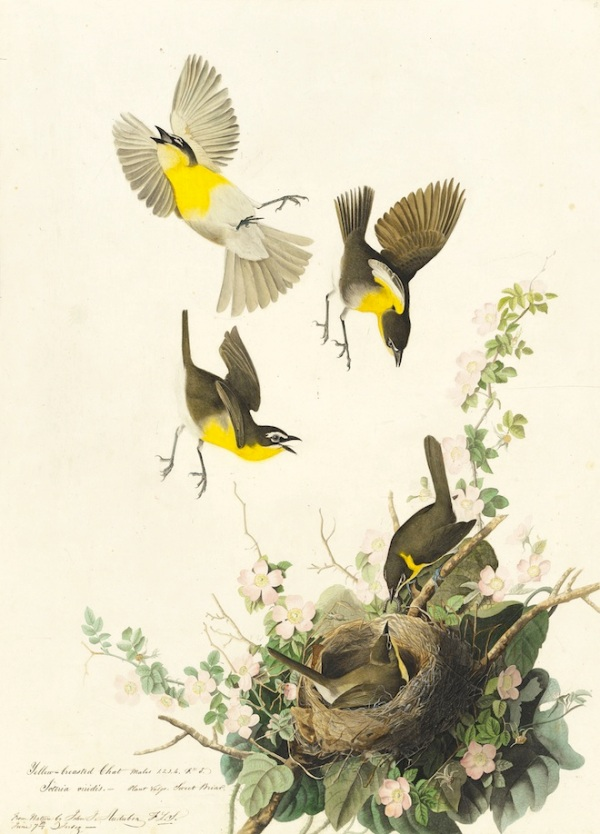1863_17_137_yellowbreastedchat