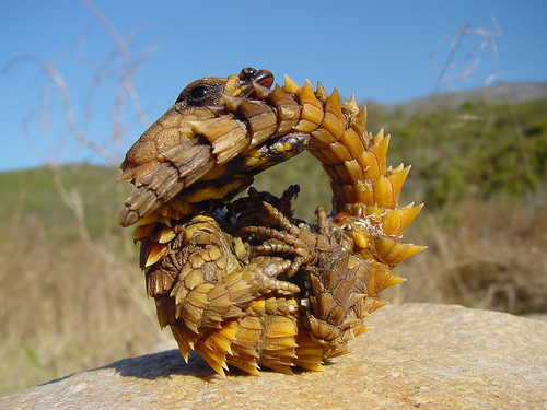 Armadillo-Girdled Lizard02