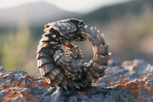 Armadillo-Girdled Lizard03