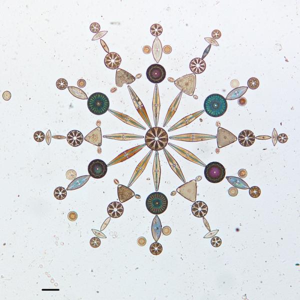 diatom-5