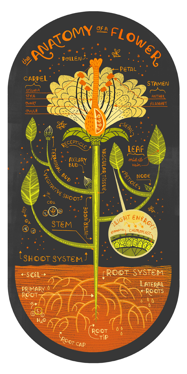 flower antomy by rachel ignotofsky